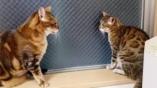 ベンガル猫レディース総長マオと副総長メイリの言い争い‼️