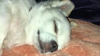 #しらす#チワワふとんで寝るの大好き犬わちちなしらすです。