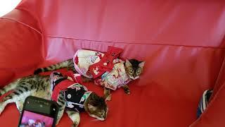 ベンガル猫メイリ&マーズママの親子でお着物‼️