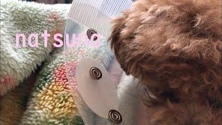 愛犬の夏菜が避妊手術してきました 生後8か月の女の子トイプードルの夏菜 my dog was spayed