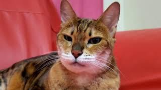 ベンガル猫マオ、セーラ、メイリ、故ピーター13歳誕生日