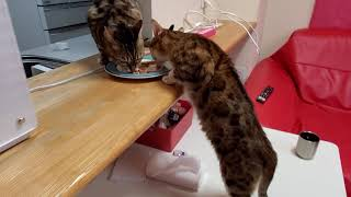 ベンガル猫メイリのカウンターテーブル立ち食い姿が可愛いすぎる#ベンガル猫#ベンガル猫軍団#ベンガル猫多頭飼い#bengal