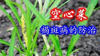 【庭院种菜 46】空心菜褐斑病的防治